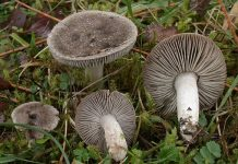 Tricholoma terreum