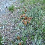 Morchella vulgaris