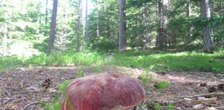 Boletus pinicola