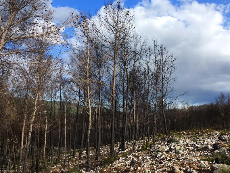 Los incendios forestales y las colmenillas (morchellas)