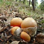 Amanita caesarea (fase huevo)