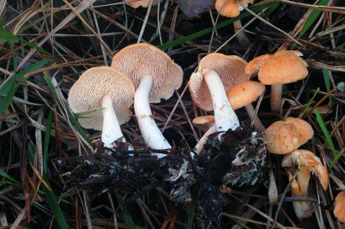 Investigadores-del-Pais-Vasco-describen-dos-nuevas-especies-de-Hydnum_image488_