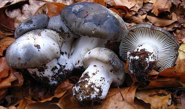Hygrophorus-marzuolus