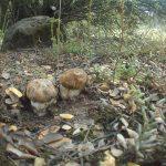 Boletus aereus, Alex Gimenez, Cuenca