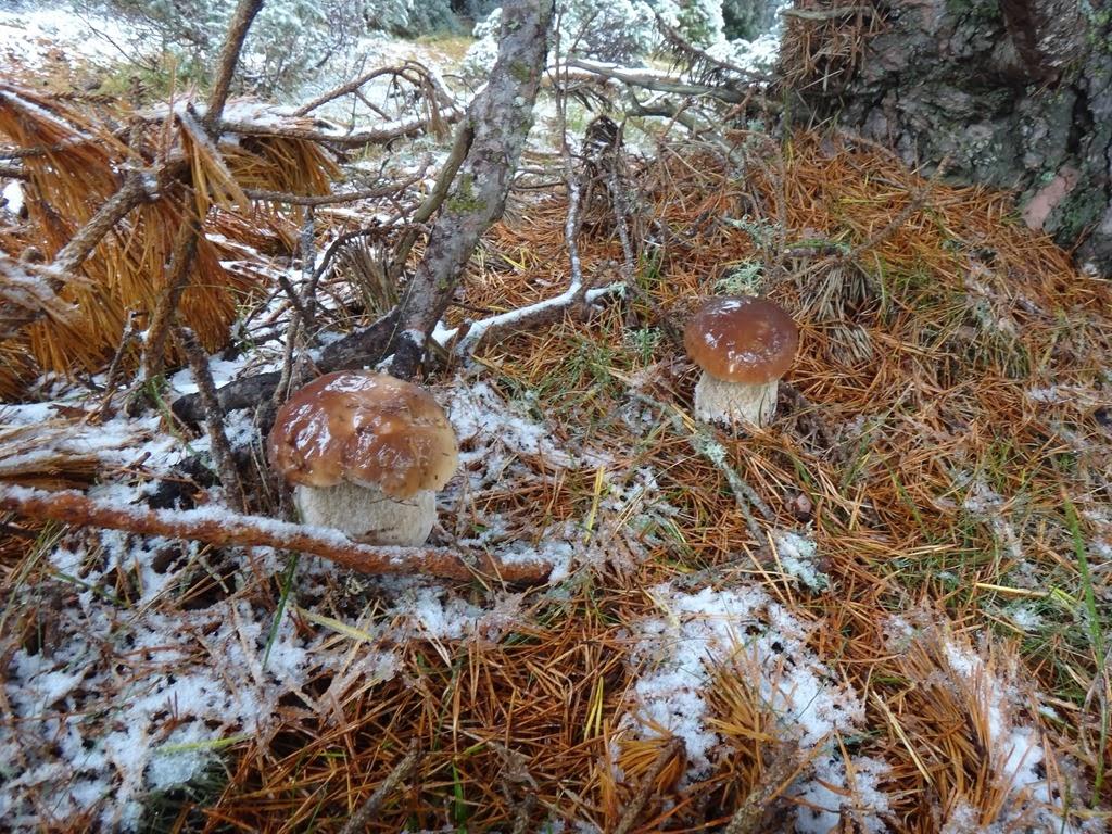 boletus en nieve