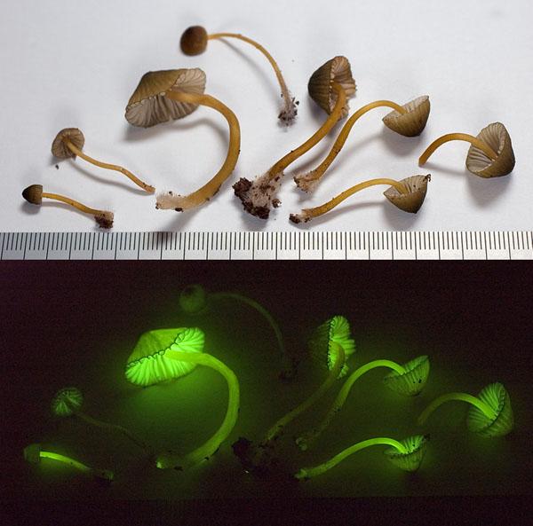 hongos bioluminiscentes