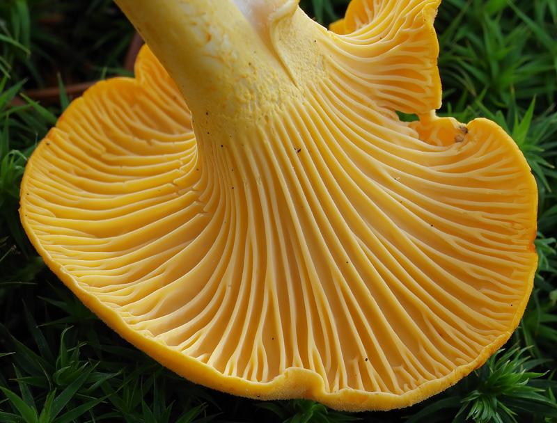 Detalle Cantharellus cibarius