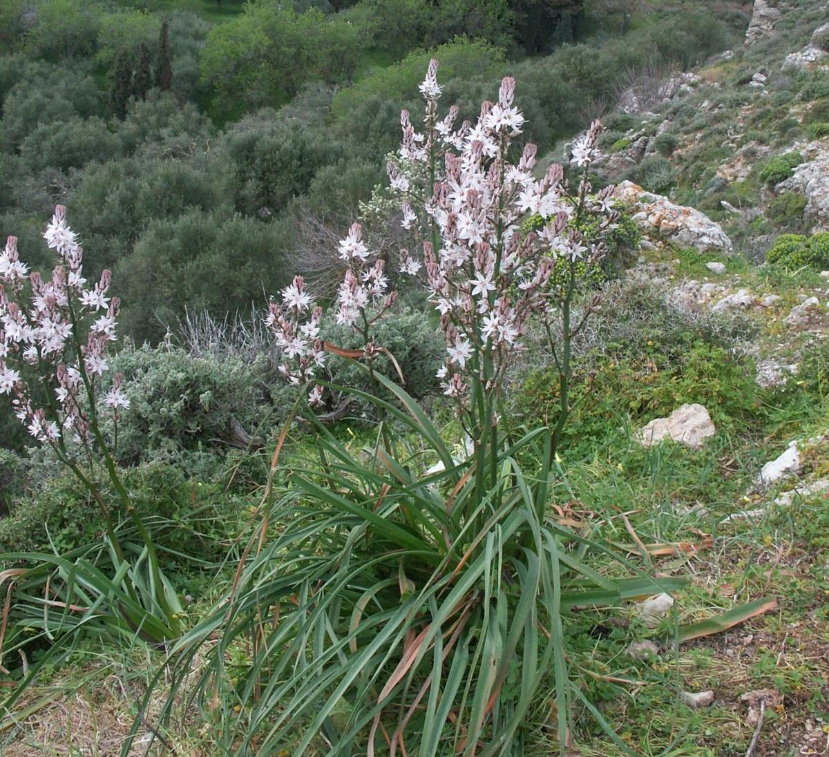gamona (Asphodelus aestivus)