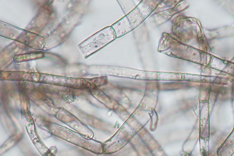 Agaricus silvaticus