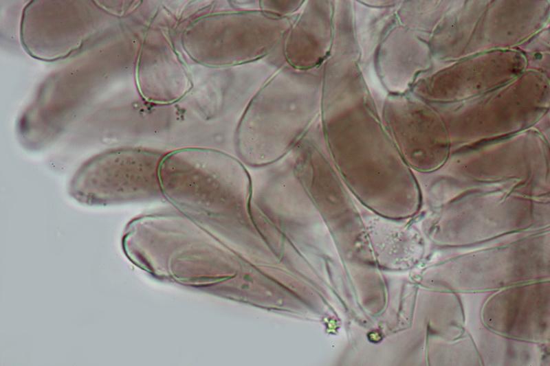 Entoloma chalybaeum lazulinum