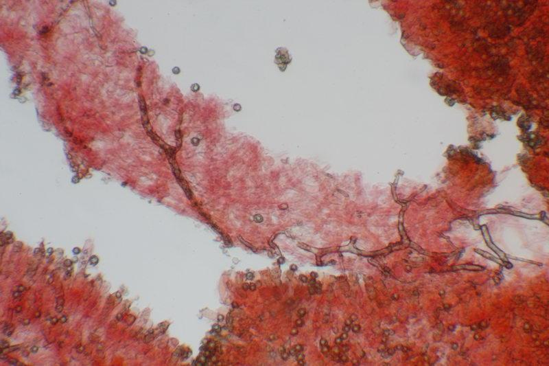 Lactarius acris
