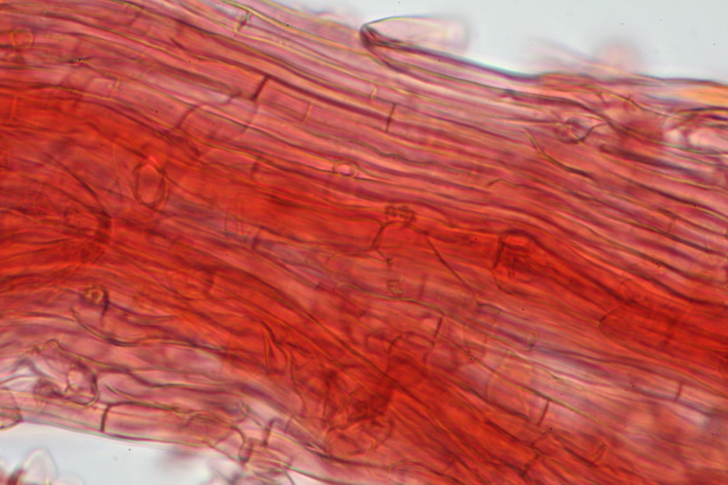 meripilus-giganteus-43557