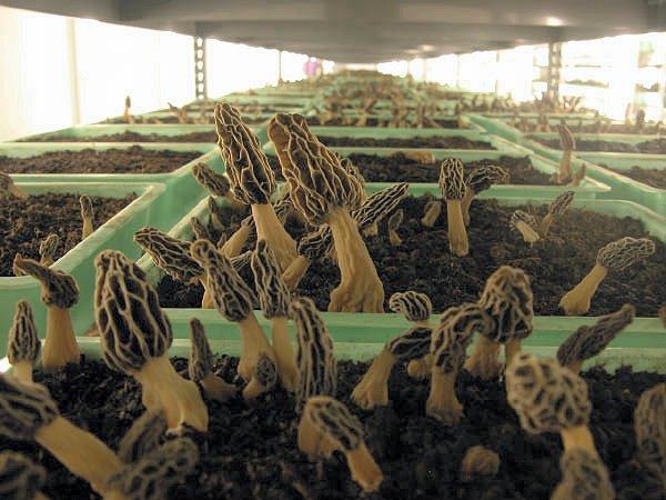 cultivo mochella