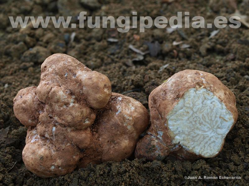 Terfezia magnusii. Foto: fungipedia.es