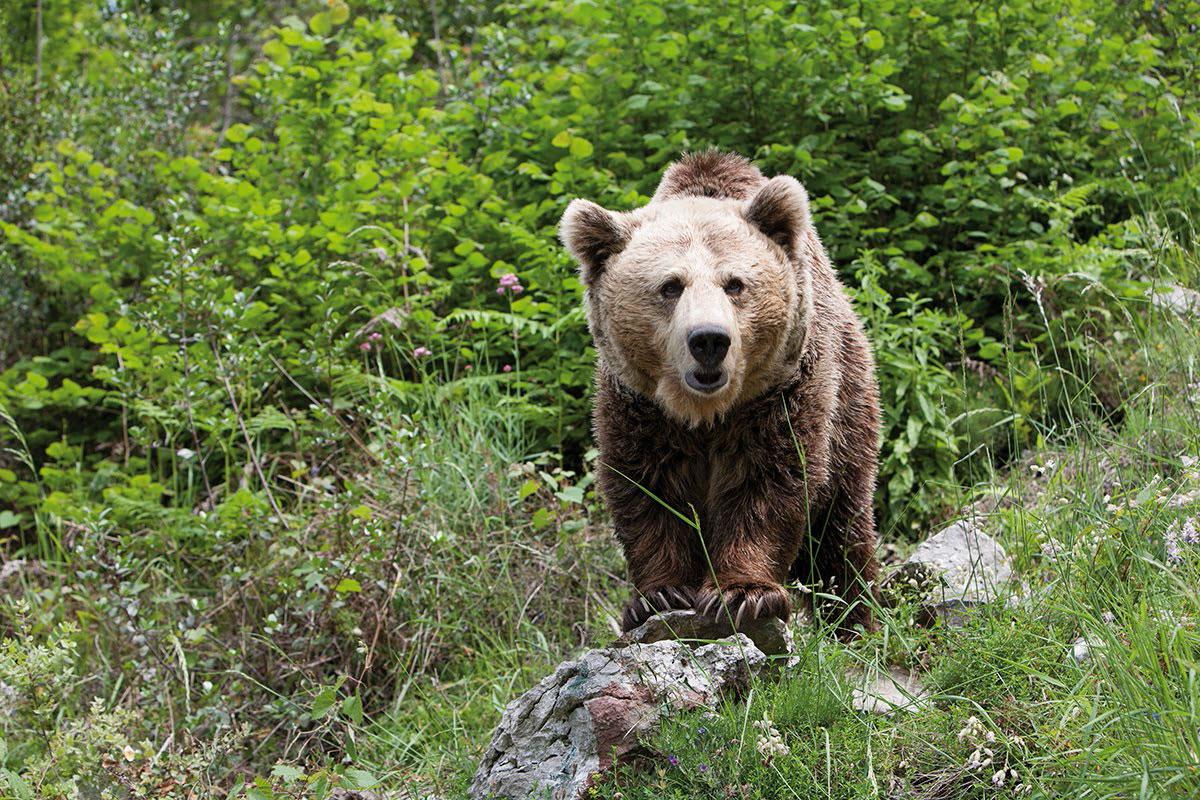 El oso localizado muerto en enero en Asturias falleció por ...