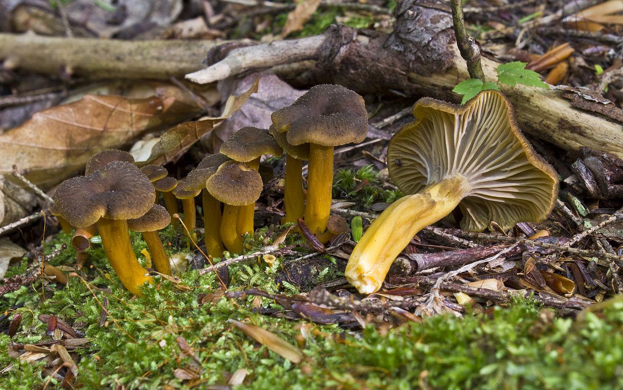 Craterellus tubaeformis: la trompeta amarilla o gula de monte