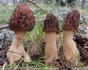 Morchella purpurascens