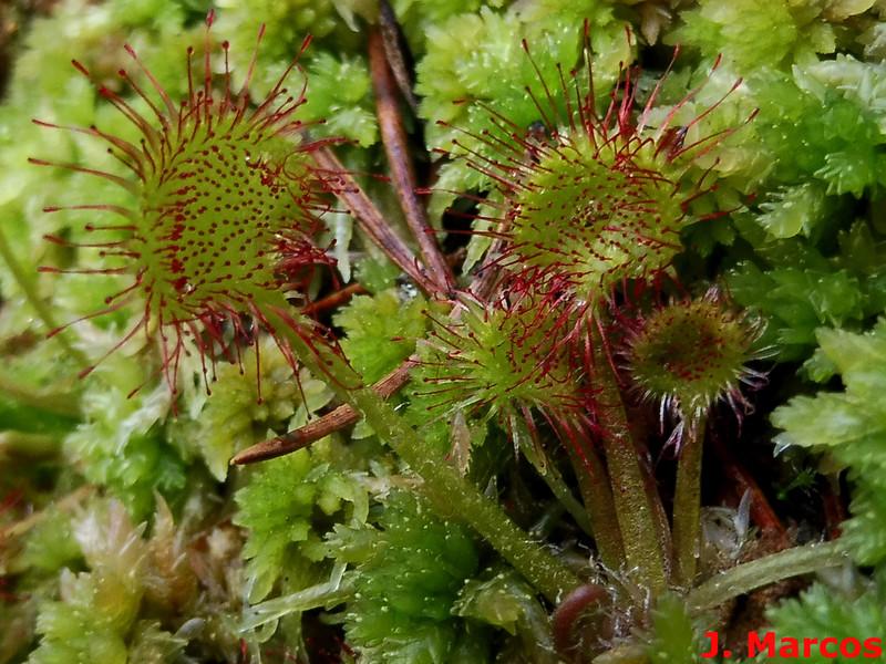 Drosera rotundifolia. Crédito Javier Marcos.