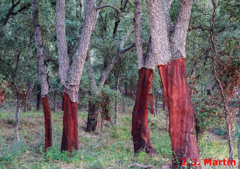 Alcornocal en la Sierra de Espadán. Crédito Jorge Juan Martín.