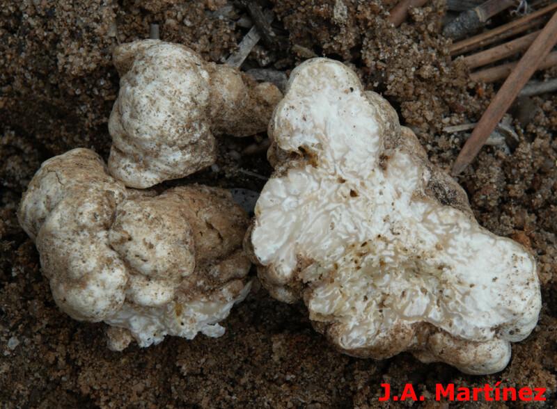 Choiromyces meandriformis. Crédito Jose Ángel Martínez)