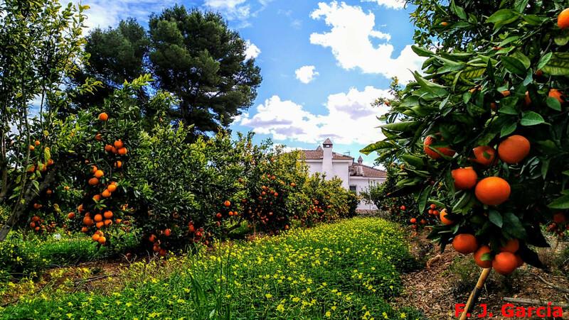 Cultivo de naranjos en Sumacarcel. Credito Fermin Javier García