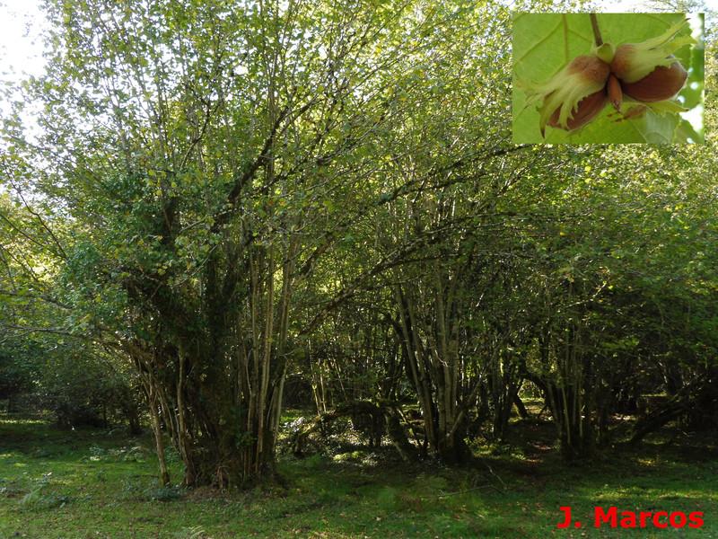 Bosque de Corylus avellana. Crédito Javier Marcos
