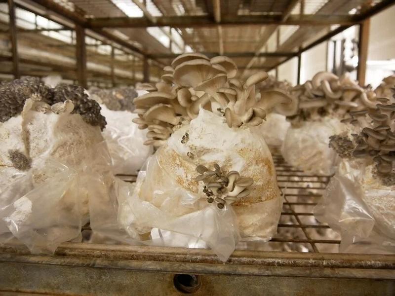 Fabricación de bioplásticos a partir de micelios de hongos. Crédito: HITTI (2020)