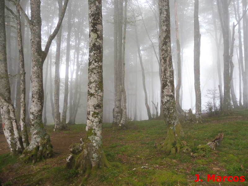 Bosque de Fagus sylvatica Crédito Javier Marcos
