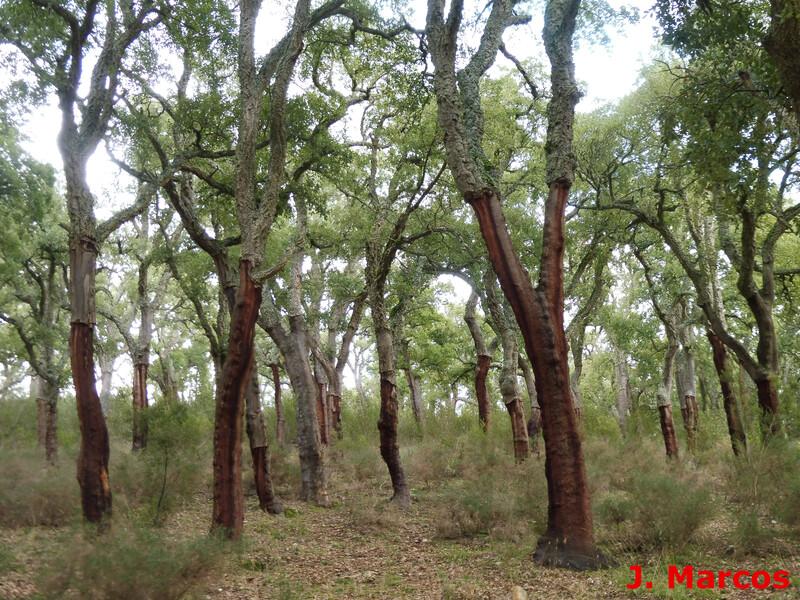 Bosque de alcornoques. Crédito Javier Marcos
