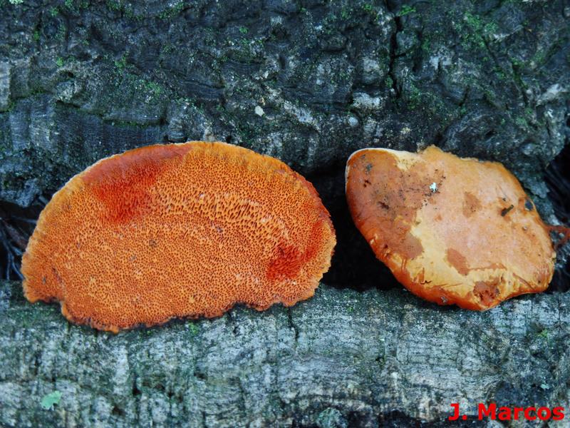 Pycnoporus cinnabarinus. Crédito Javier Marcos