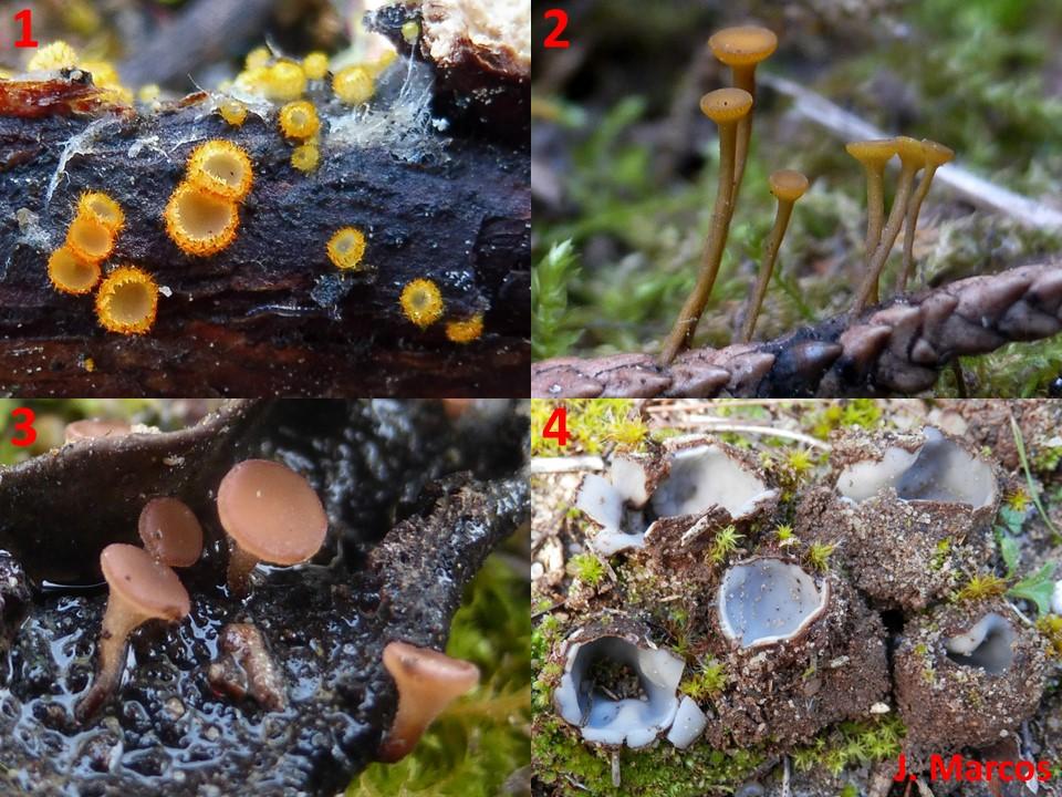 1) Arachnopeziza aurelia. 2) Chloroscypha alutipes. 3) Ciboria brunneorufa. 4) Geopora arenicola. Crédito Javier Marcos.