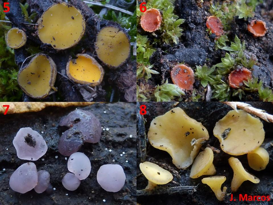 5) Humaria solsequia. 6) Lamprospora carbopnicola. 7) Ombrophila violacea. 8) Phaeohelotium tamaricis. Crédito Javier Marcos.