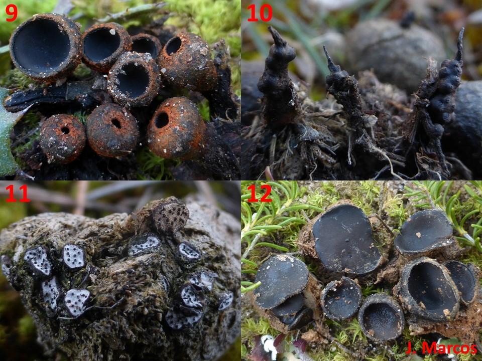 9) Plectania melastoma. 10) Podosordaria tulasnei. 11) Poronia erici. 12) Pseudoplectania ericae. Crédito Javier Marcos.